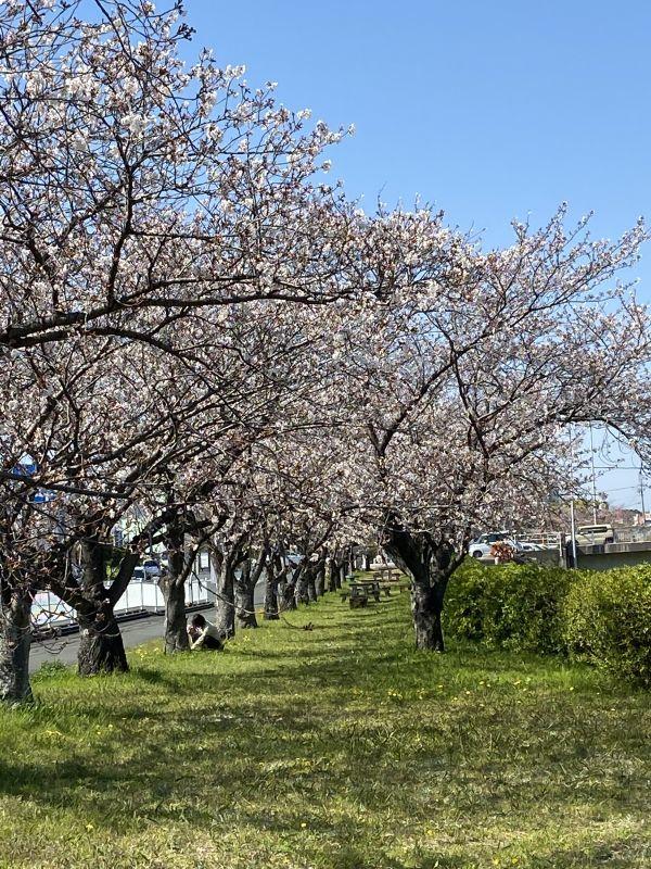 自宅の近所の桜 もうすぐ満開です